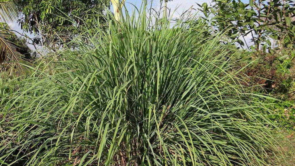 lemongrass-esencialny-olej-organicky-citronova-trava-rastlina